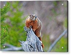 Marmot Acrylic Print by Elijah Weber
