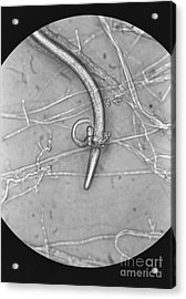 Nematode Snared By Predatory Fungus Lm Acrylic Print by Photo Researchers, Inc.