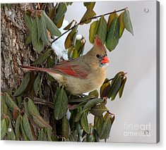 Acrylic Print featuring the photograph Northern Cardinal by Jack R Brock