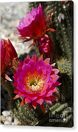 Pink Cactus Flowers Acrylic Print