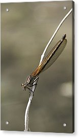 Acrylic Print featuring the photograph Red Bluet by Betty Depee