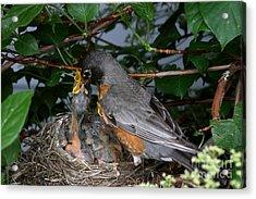 Robin Feeding Its Young Acrylic Print by Ted Kinsman