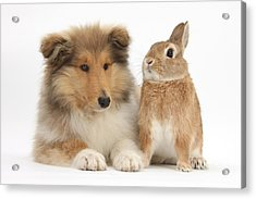 Rough Collie Pup With Rabbit Acrylic Print by Mark Taylor