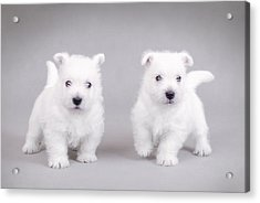 West Highland White Terrier Puppies Acrylic Print by Waldek Dabrowski