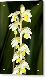 Exotic Orchids Of C Ribet Acrylic Print