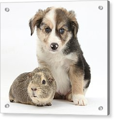 Border Collie Pup And Guinea Pig Acrylic Print by Mark Taylor