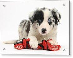 Border Collie Pup Acrylic Print by Mark Taylor