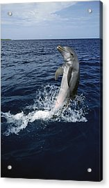 Bottlenose Dolphin Tursiops Truncatus Acrylic Print by Konrad Wothe