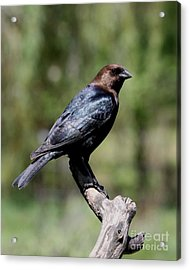 Brown-headed Cowbird Acrylic Print