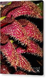 Bulbophyllum Orchid Acrylic Print