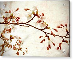 Cherry Blossoms Acrylic Print by Charline Xia