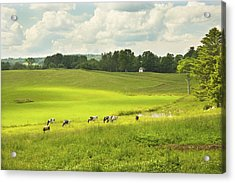 Cows Grazing On Grass In Farm Field Summer Maine Acrylic Print by Keith Webber Jr