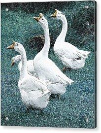 4 Ducks Acrylic Print