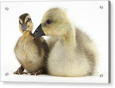Embden X Greylag Gosling And Mallard Acrylic Print by Mark Taylor