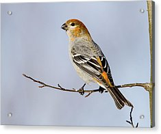 Female Pine Grosbeak Acrylic Print by Doug Lloyd