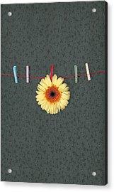 Gerbera Acrylic Print by Joana Kruse