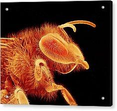 Honey Bee, Sem Acrylic Print by Susumu Nishinaga
