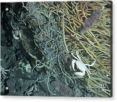 Hydrothermal Vent Community Acrylic Print