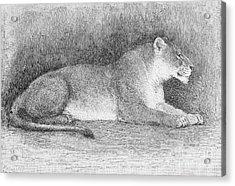 Lion Acrylic Print by Granger