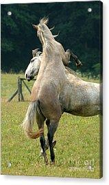 Lipizzan Horses Acrylic Print