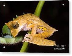 Marsupial Frog Acrylic Print by Dante Fenolio