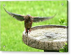 Acrylic Print featuring the photograph Mourning Dove by Jack R Brock