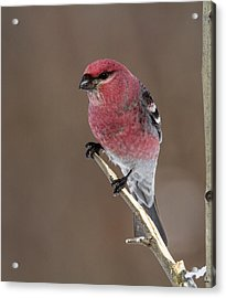 Pine Grosbeak Acrylic Print by Doug Lloyd