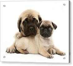 Pug And English Mastiff Puppies Acrylic Print by Jane Burton