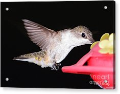 Ruby Throated Hummingbird Acrylic Print by Steve Javorsky