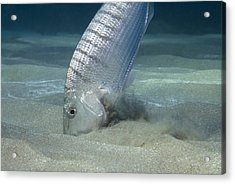 Striped Seabream Searching For Prey Acrylic Print by Angel Fitor
