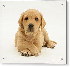 Yellow Labrador Puppy Acrylic Print