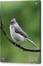 Tufted Titmouse Acrylic Print by Jack R Brock