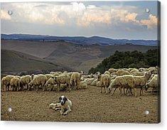 Flock Of Sheep Acrylic Print by Joana Kruse