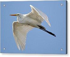 Great White Egret Acrylic Print by Paulette Thomas