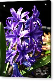 Acrylic Print featuring the photograph Hyacinth Named Peter Stuyvesant by J McCombie