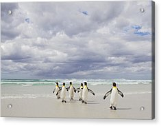 King Penguin Aptenodytes Patagonicus Acrylic Print by Ingo Arndt