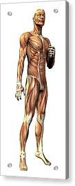Male Musculature Acrylic Print by Friedrich Saurer