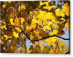 Maple Acrylic Print by Igor Sinitsyn