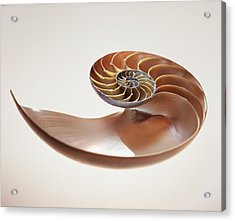 Nautilus Shell Acrylic Print by Lawrence Lawry