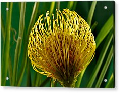 Picture Of A Pincushion Protea Acrylic Print by Perla Copernik