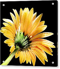 Acrylic Print featuring the photograph Yellow Gerber by Elvira Ladocki