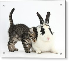 Kitten And Rabbit Acrylic Print by Mark Taylor