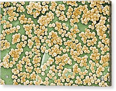 Methicillin-resistant Staphylococcus Acrylic Print by Science Source