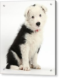 Border Collie Puppy Acrylic Print by Mark Taylor