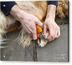 Dog Grooming Acrylic Print