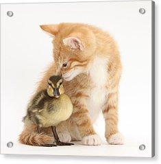 Ginger Kitten And Mallard Duckling Acrylic Print by Mark Taylor