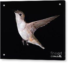 Ruby Throated Hummingbird Acrylic Print by Steve Javorsky