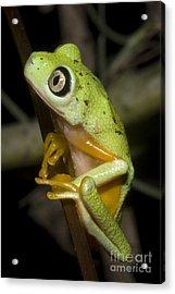 Tree Frog Acrylic Print by Dante Fenolio