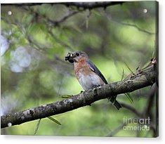 Eastern Bluebird Acrylic Print by Jack R Brock