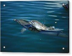 Bottlenose Dolphin Tursiops Truncatus Acrylic Print by Konrad Wothe